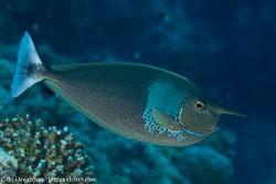 BD-100925-Fury-Shoal-2401-Naso-brevirostris-(Cuvier.-1829)-[Spotted-unicornfish].jpg